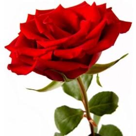 1 tot 10 Lange rode rozen